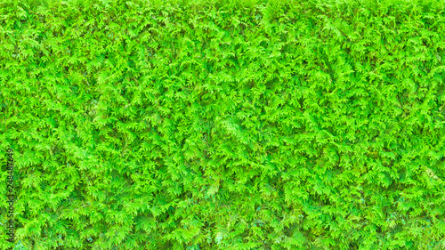Bright green hedge as texture background (16:9 aspect ratio) - 248487649