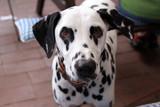 Aufmerksamer Dalmatiner