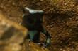 Little dart frog