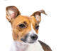 Closeup Portrait Jack Russell Terrier, standing in front, isolated white background