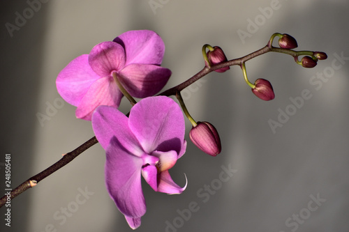 Focus on the violet orchid blossom - 248505481