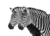 Two young zebras isolated on white. Safari animals.