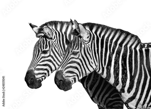 Two young zebras isolated on white. Safari animals. - 248511041