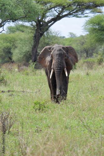 An elephant walking in green savanna