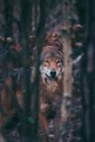Wolf Wald Sonne Portrait Tier Vintage Closeup
