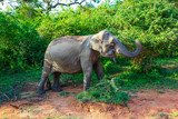 Elephant eating from green tree in Yala National Park - 248516235