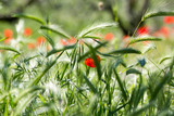Schöne grüne Wiese mit einzelnen roten Mohn Blumen