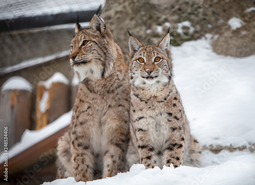 Lynx family in snow
