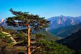 Tree in Seoraksan National Park, South Korea - 248537271