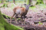 male muflon in the forest - 248537288