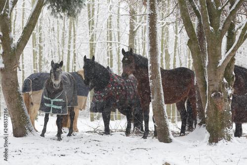 Leinwanddruck Bild Pferdeherde mit Schneeflocken