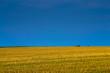 Golden field after harvest