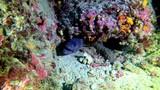 Marine wildlife - Moray eel in a reef  - 248545244