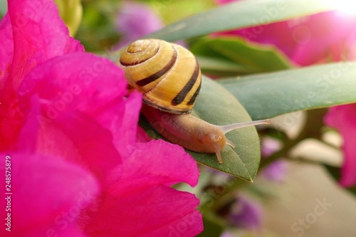 Snail and flower.Yellow Snail on a blooming pink rhododendron on a blurred floral background. Beautiful nature background - 248575879