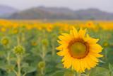 Field of Sunflower blooming in Sunflowers garden
