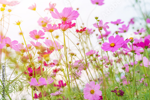 Cosmos colorful flower in the beautiful garden