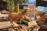 goat, animal, artiodactyl, horns, dancing