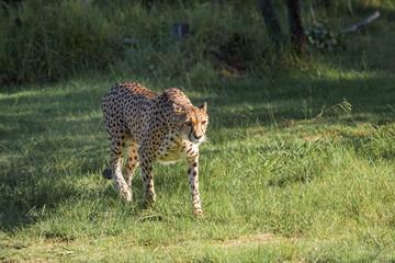 Cheetah in a green grass, South Africa