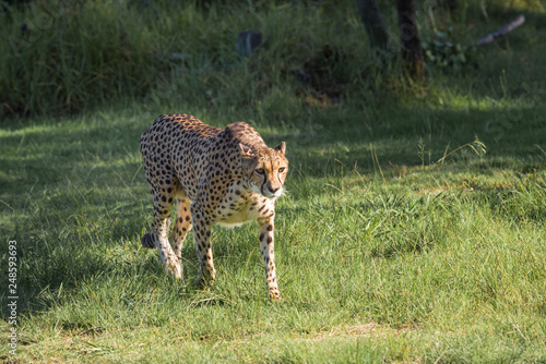 Cheetah in a green grass, South Africa © javarman