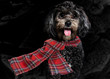 Cute little black dog wearing a tartan scarf, looking at the camera