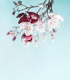 Hanging magnolia blossom. Flowering branch of magnolia at light blue background. Spring concept. Springtime  card template