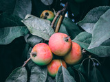 Background with ripe red apples on a tree. Organic apples. Gardening and harvesting concept. Red apple on a tree with green dark blurred background. Autumn cloudy day.