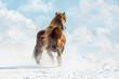 Leinwanddruck Bild - Portrait of Agar, Bohemian-Moravian Belgian horse in sunny day. Czech Republic