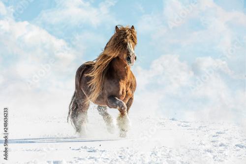 Leinwanddruck Bild Portrait of Agar, Bohemian-Moravian Belgian horse in sunny day. Czech Republic