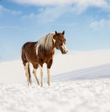 Fantastic DJ Valentine horse in sunny day in winter. Czech Republic