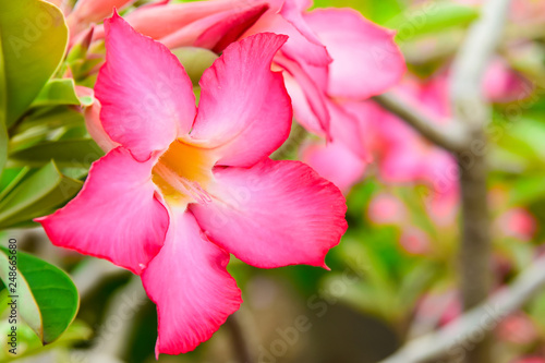 Adenium or desert rose,Impala Lily,Mock Azalea flower with background nature from the garden in spring day tropical design for wallpaper have copy space and text. - 248665680