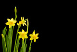 Daffodils on black background with copy space - 248670890