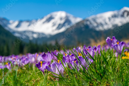 Leinwanddruck Bild Beautiful meadow with blooming purple crocuses on snowcaped mountains background