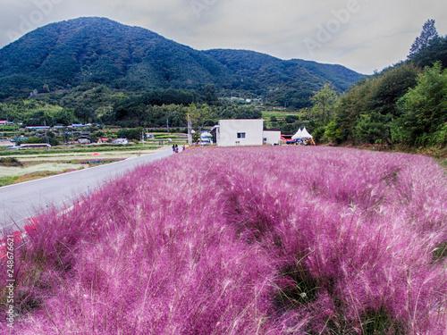 Bukcheon Cosmos and Buckwheat Flower Festival in Hadong, Gyengsangnamdo, ,South Korea