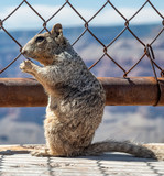 Squirrel on a wooden path of Grand Canyon with metal fence - 248677681