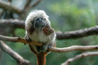 Emperor Tamarin monkey while looking at you
