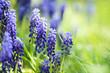 Fresh blue flowers in the garden
