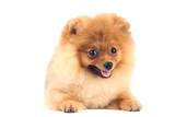 Pomeranian dog isolated on white background - 248686093