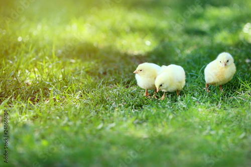 Foto Murales Little chicks on green grass in the park