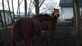 Two brown stallions who tease each other in the corral during the winter day - 248686684