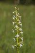 Wilde Orchidee, weiße Waldhyazinthe - platanthera bifolia