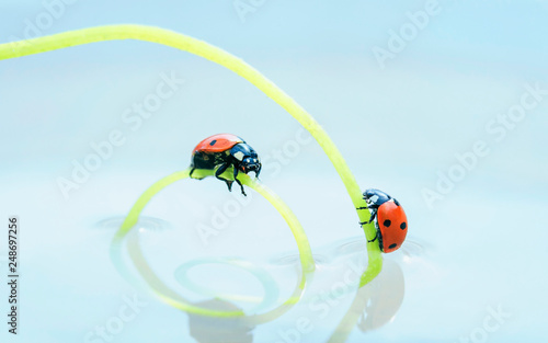 Leinwanddruck Bild two red ladybugs crawling towards each other on a green herbal spiral in mirror water