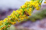 Honey bee pollinating seaside goldenrod flower - 248703656