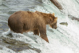 Closeup photo of a an Alaskan grizzly bear fishing for salmon on top of a waterfall at Brooks Falls, Alaska, USA. A salmon fish is in midair in front of the bear. - 248713212