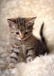 Leinwanddruck Bild - cute striped kitten on a light background