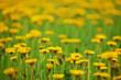 Intentionally blurred field of dandelions - 248742625