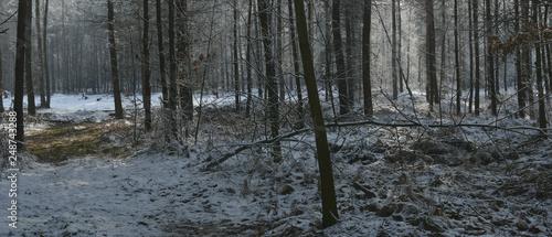 las zimą - 248743288