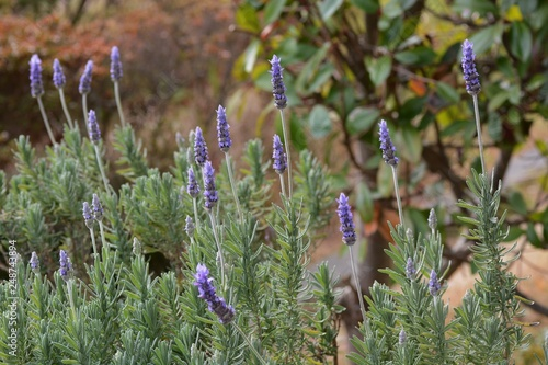 Pleasant fragrance Lavender is known as the