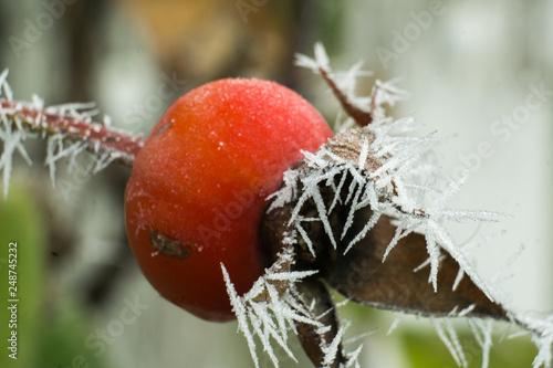 Foto Murales Hagebutte im morgen frost
