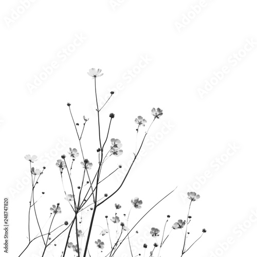 obraz PCV Meadow florets on a white background. Black and white photo