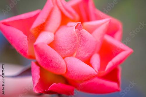 Close Up Pink Rose - 248756071